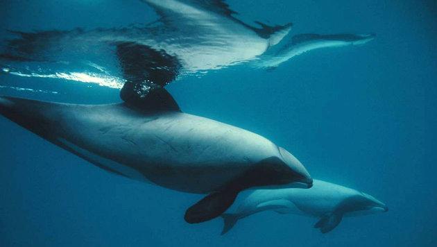 Seltenster Delfin der Welt vom Aussterben bedroht (Bild: NABU/Steve Dawson)
