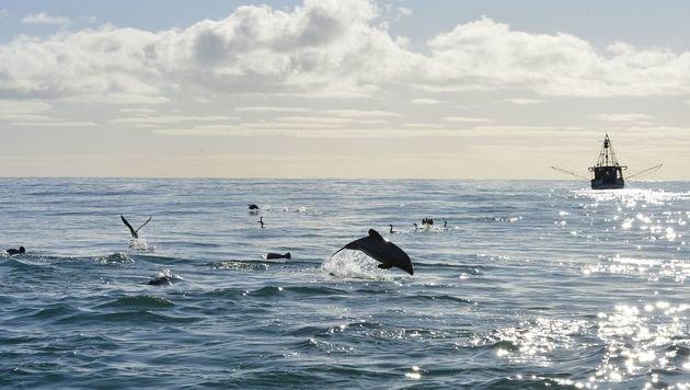 ... in den Netzen der Berufsfischer vor Neuseeland. (Bild: APA/AFP/Otago University und NZ Whale)