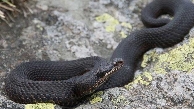 Bisher unbekannte Schlangenart in Italien entdeckt (Bild: Universität Basel, Sylvain Ursenbacher)