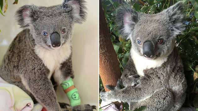 """Koala """"Bowie"""" hat ein blaues und ein braunes Auge (Bild: APA/AFP/AUSTRALIA ZOO/STR)"""