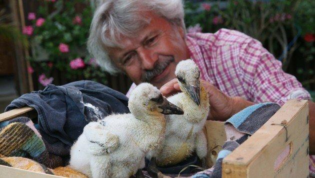 Das sind die beiden Storchenbabys, deren Vater von einem Schützen aus dem Nest geschossen worden ist (Bild: Jügen Radspieler)