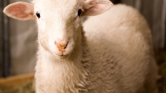 Bursche schächtete Schafe mitten auf Wiese: Urteil (Bild: thinkstockphotos.de)