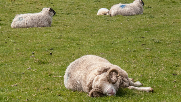 Mutter und Sohn schächteten Schafböcke in der Stmk (Bild: thinkstockphotos.de (Symbolbild))