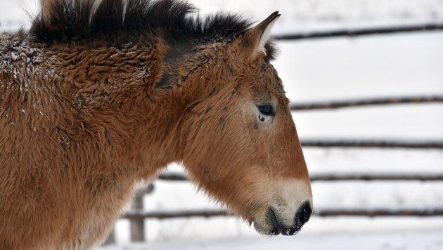 Seltene Przewalski-Pferde in Mongolei ausgewildert (Bild: APA/AFP/Genya Savilov)