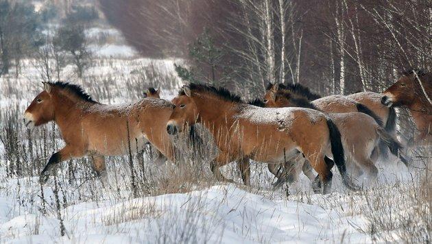 Seltene Przewalski-Pferde in Mongolei ausgewildert (Bild: APA/AFP/Genya Savilov (Symbolbild))