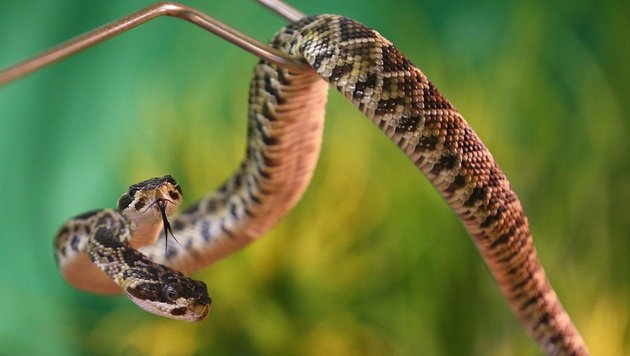 D: Klapperschlange mit zwei Köpfen in Zoo geboren (Bild: APA/AFP/dpa/Karl-Josef Hildenbrand)