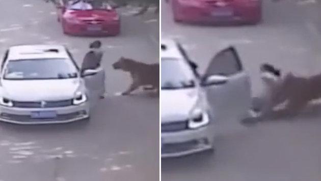 China: Frau von Tiger weggezerrt und get�tet (Bild: twitter.com)