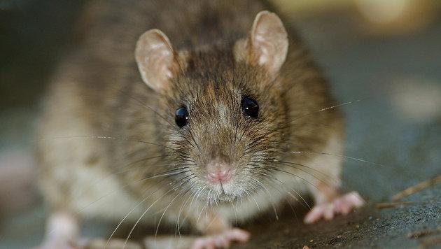 Neuseeland will Ratten im Land bis 2050 ausrotten (Bild: thinkstockphotos.de)