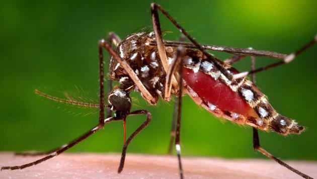 Überträgerin des Zika-Virus: Stechmücke Aedes aegypti (Bild: AP)