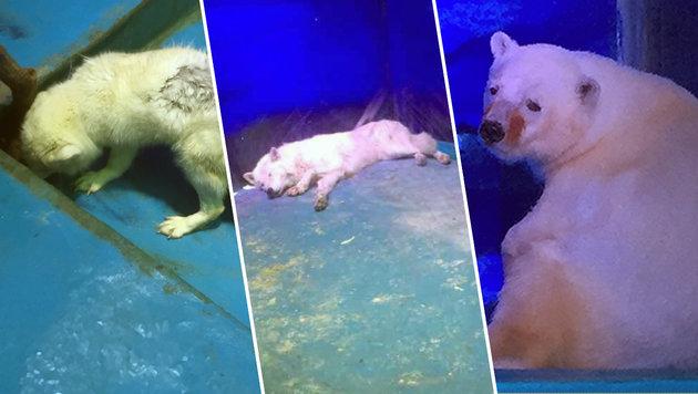 Aquarium in China gibt einsamen Eisbären nicht ab (Bild: Animals Asia)