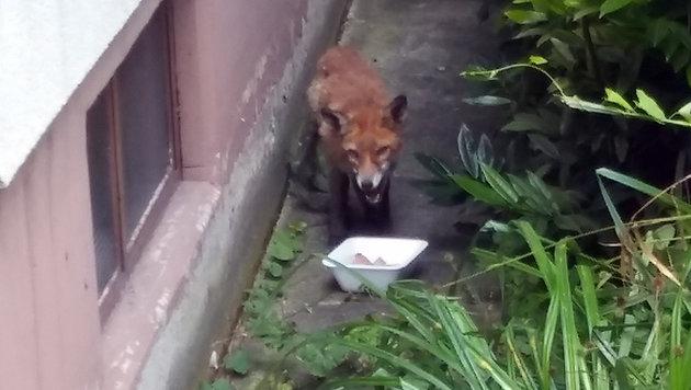 Gierig machte sich das ausgehungerte Jungtier über das Hundefutter her. (Bild: LPD WIEN)