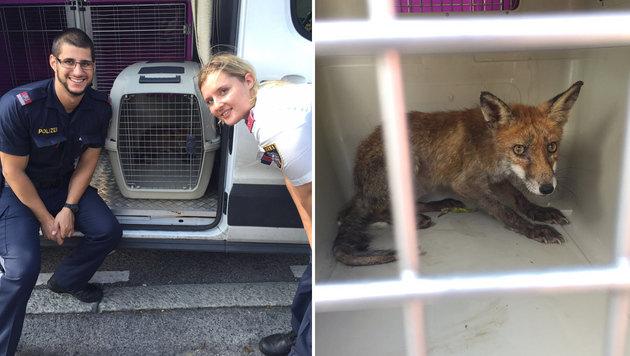 Der kleine Fuchs konnte von Polizei und Tierrettung rasch eingefangen werden. (Bild: LPD WIEN)