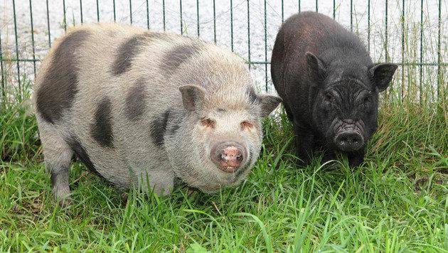 Carlos' gescheckte Stallgenossin 'Huberta' (links) ist weniger abenteuerlustig. (Bild: Niki Faistauer)