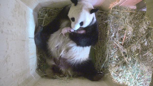 Tiergarten Sch�nbrunn jubelt �ber Panda-Zwillinge (Bild: Tiergarten Sch�nbrunn)