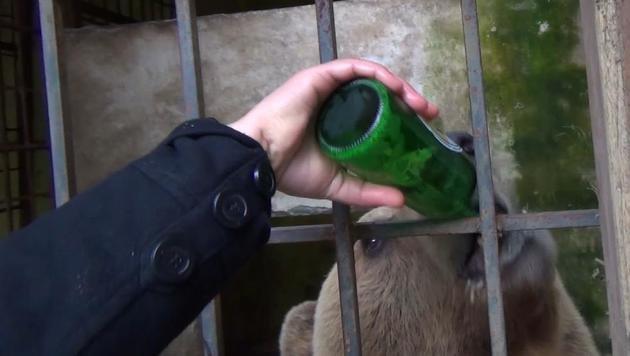 """Bier-Bär """"Tomi"""" wird in einem engen Betonkäfig neben den Toiletten eines Restaurants gehalten. (Bild: Vier Pfoten)"""