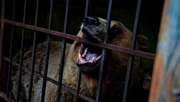 Die grausame Bärenhaltung in Albanien soll endlich beendet werden. (Bild: Vier Pfoten)