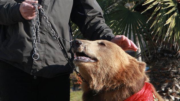 Die Bären erleiden jedes Mal, wenn ihr Besitzer an der Kette zieht, schlimme Schmerzen. (Bild: Vier Pfoten)
