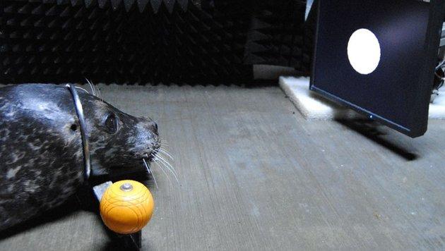 Studie: Seehunde haben ein Gesp�r f�r die Zeit (Bild: Universit�t Rostock/MSC/Tamara Heinrich)