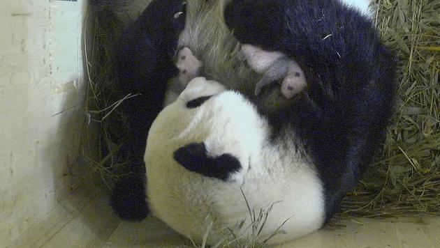 Noch sind die Panda-Babys blind. (Bild: Tiergarten Schönbrunn)