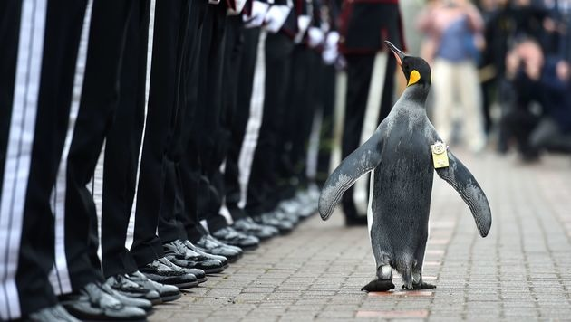 Sir Nils Olav ist nun General. (Bild: APA/AFP/MOD/CROWN COPYRIGHT 2016/MARK OWENS)