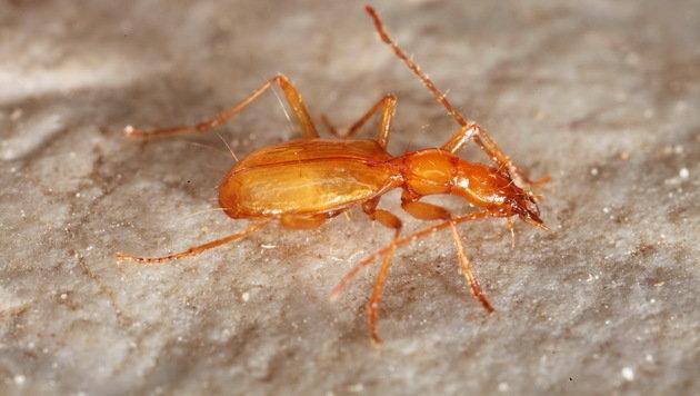 Die blinde Käferart kann nur in Höhlen leben. (Bild: Christian Komposch)