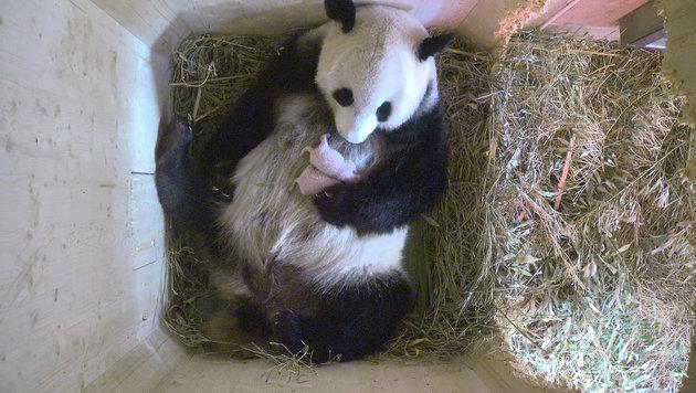 Die Panda-Zwillinge am Bauch der Mutter (Bild: Tiergarten Schönbrunn)