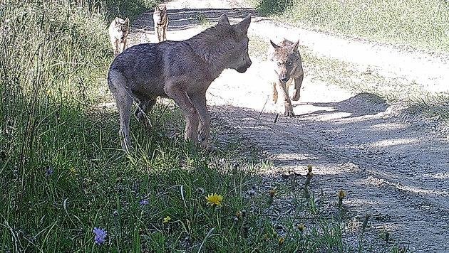 Die Wolfsfamilie am Truppenübungsplatz Allentsteig (Bild: BMLVS)