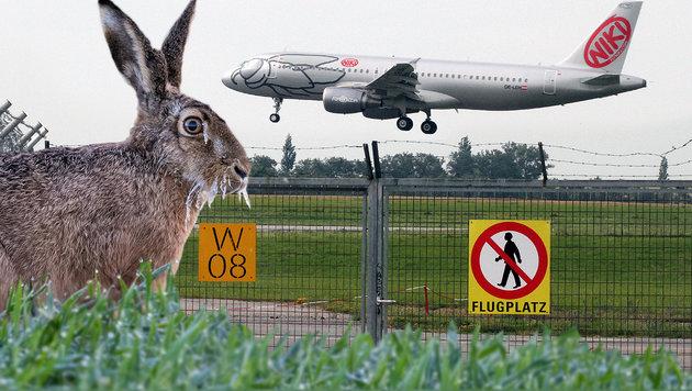 Feldhase stoppt Landung von FlyNiki-Airbus (Bild: Andi Schiel, APA/dpa/Patrick Pleul)