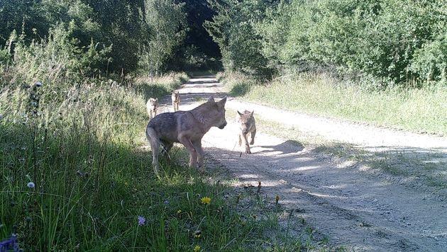 Die Wolfsfamilie in Allentsteig mit zwei Jungtieren (Bild: BMLVS)