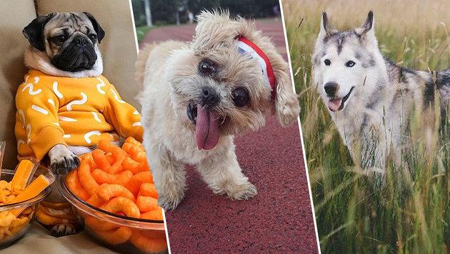 Diese drei Hunde sind die Megastars auf Instagram (Bild: instagram.com)