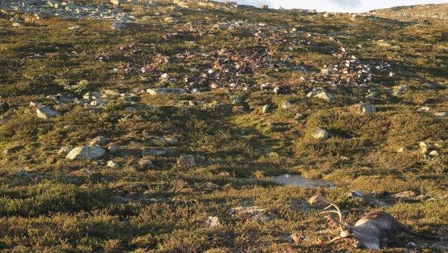 Mehr als 300 Rentiere von Blitzen getötet (Bild: EPA)