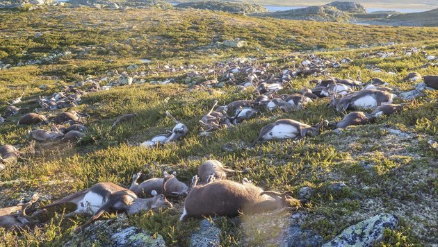 Über 300 tote Rentiere wurden auf der Hochebene im Süden Norwegens gezählt. (Bild: EPA)