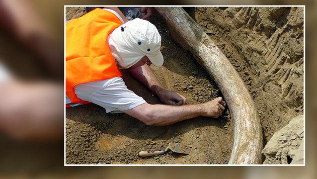 """""""Ziemlich sensationeller"""" Ur-Mammut-Fund in NÖ (Bild: APA/NHM WIEN/URSULA GÖHLICH)"""