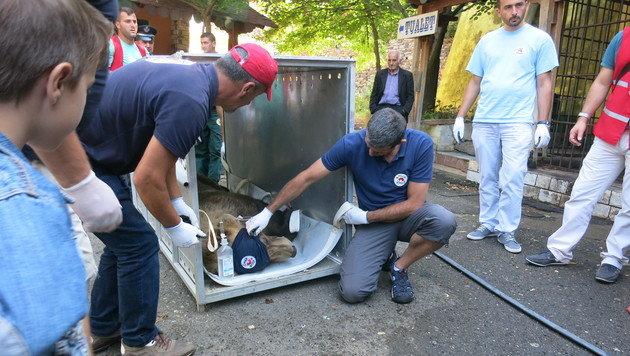 Der Aufenthalt des Bären im Zoo Tirana ist zu seiner eigenen Sicherheit. (Bild: dez)