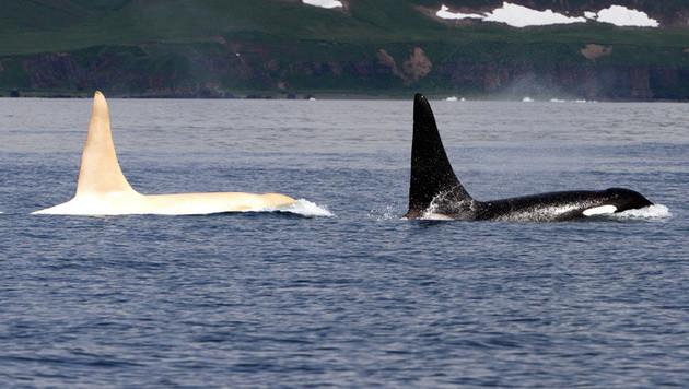 Einer der weißen Orcas neben einem Exemplar in der üblichen schwarzen Färbung (Bild: APA/FEROP)