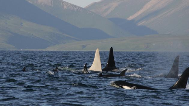 Verband von Orcas vor der Ostküste Russlands (Bild: APA/FEROP)