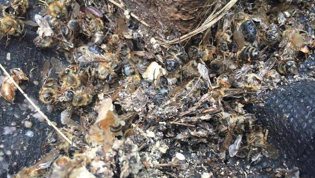 Millionen Bienen durch Zika-Insektizid getötet (Bild: Facebook/Flowertown Bee Farm and Supplies)