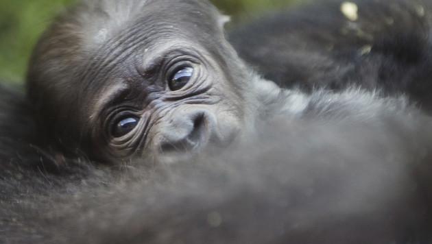 Jetzt auch Gorilla vom Aussterben bedroht (Bild: AP)