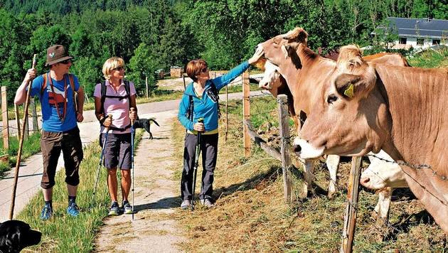 Die Rinder auf einer der größten Weidegenossenschaften im Salzkammergut sind zutraulich. (Bild: Chris Koller, Kronen Zeitung)