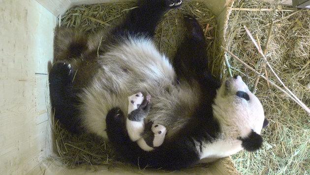 Pandababy-Zwillinge sind M�nnchen und Weibchen (Bild: Tiergarten Sch�nbrunn)