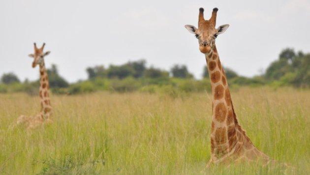 Zwei Nubische Giraffen (Bild: Julian Fennessy)
