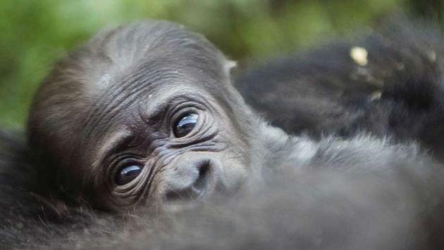 Berggorilla-Baby im Bwindi Nationalpark geboren (Bild: Uganda Tourism Board)