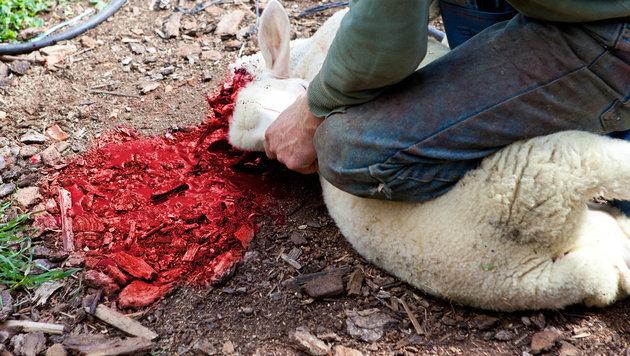 Muslime richten Blutbad auf steirischer Weide an (Bild: thinkstockphotos.de (Symbolbild))
