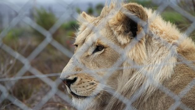 """Canned Hunting-Verbot in Südafrika gefordert (Bild: """"Vier Pfoten"""")"""