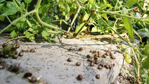Die Krabbler haben großen Appetit auf das Gemüse der Lipps und das ihrer Nachbarn. (Bild: Sepp Pail)