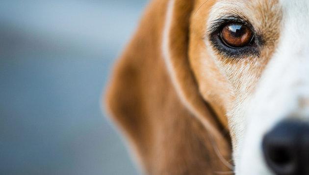 Hundehasser legte präparierte Köder im Garten aus (Bild: thinkstockphotos.de)
