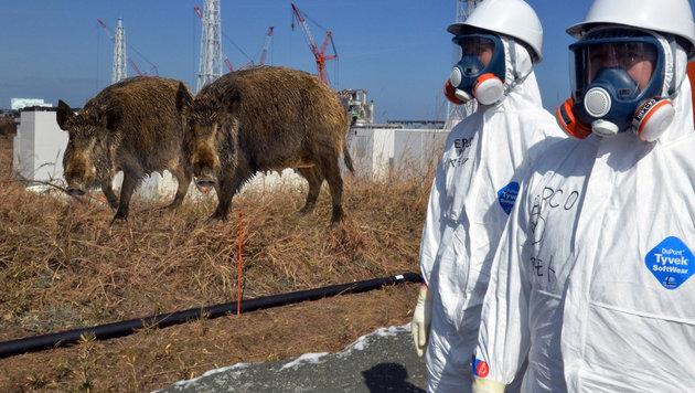 Fukushima: Wildschweine erobern Evakuierungszonen (Bild: AFP/Yoshikazu TSUNO, thinkstockphotos.de)