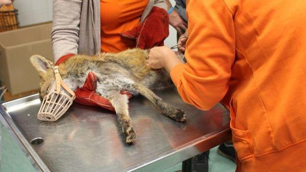 WTV rettete Fuchs aus illegaler Schlingenfalle (Bild: WTV)