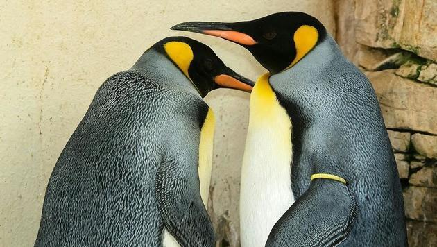 Die stolzen Pinguin-Eltern (Bild: APA/DANIEL ZUPANC)