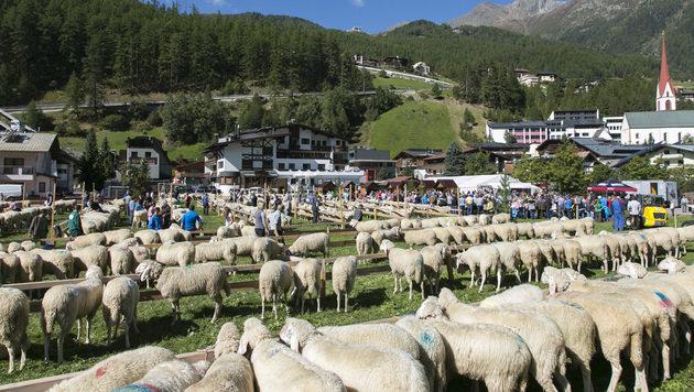 Größte Schaf-Zuchtausstellung fand in Tirol statt (Bild: Tiroler Schafzuchtverband)
